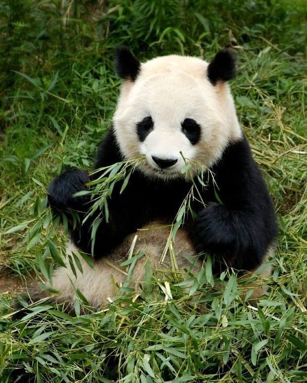 Teach English in China - Panda Breeding Research Center Chengdu